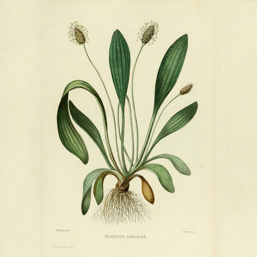 Plantago_lanceolata_illustration_01