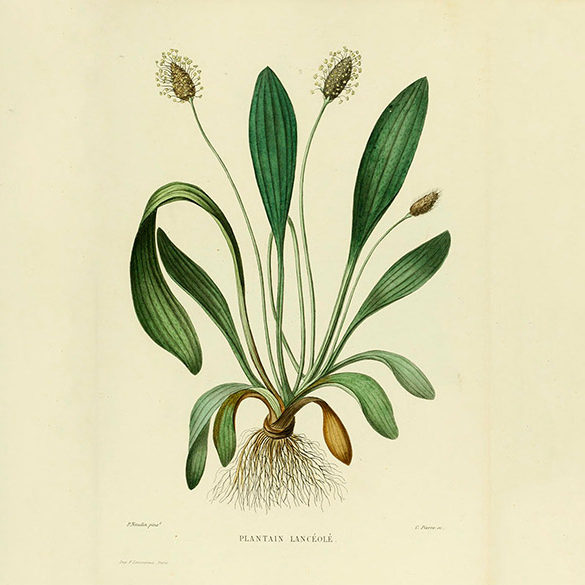 Plantago_lanceolata_illustration_01_600